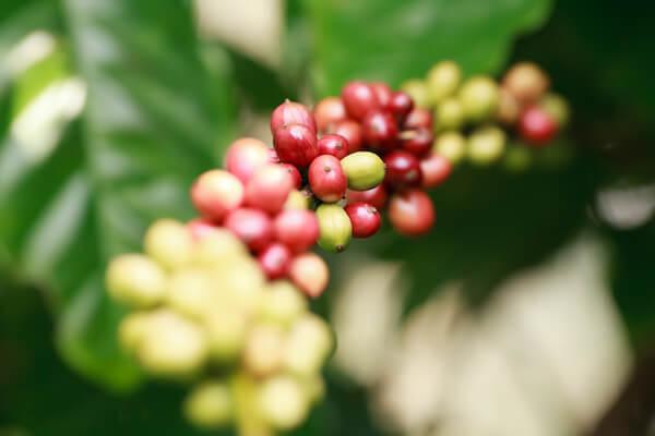 robusta kávé