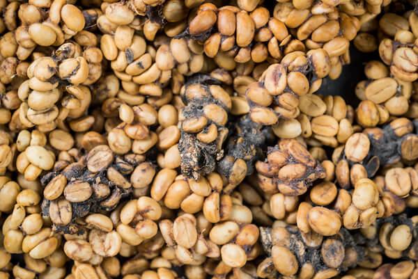 cibetmacska kávé