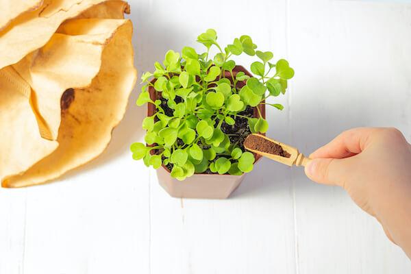 kávézacc milyen kerti növényekre jó? Savanyú talaj!