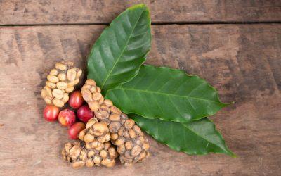 Cibetmacska kávé (Kopi Luwak) – A világ legdrágább kávéja